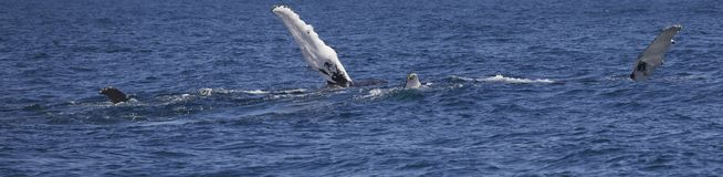Humpback wieloryba flippers Obrazy Royalty Free