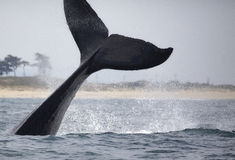 Humpback wieloryba fuks obraz stock