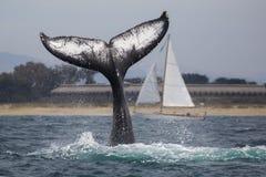 Humpback wieloryba fuks obraz royalty free