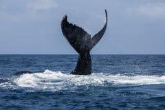 Humpback wieloryba fuks w Atlantyk Zdjęcia Royalty Free