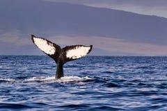 Humpback wieloryba fuks widzieć na Maui podczas wielorybiego zegarka obrazy stock