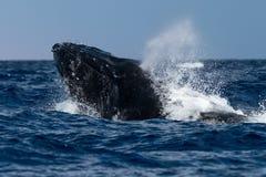 Humpback wieloryba głowy lunge blisko Lahaina w Hawaje obrazy stock