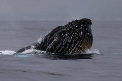 Humpback wieloryba głowy lunge blisko Lahaina w Hawaje fotografia royalty free