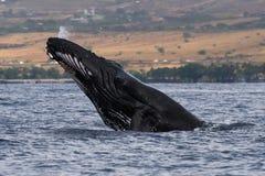 Humpback wieloryba głowy lunge blisko Lahaina w Hawaje obrazy royalty free