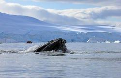 Humpback wieloryba głowa zdjęcia royalty free