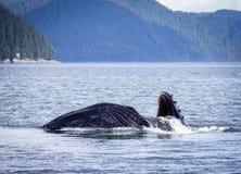 Humpback wieloryba lunge karmienie Zdjęcia Stock