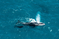 Humpback wieloryba matka i łydka, St Mary wyspa, Madagascar Fotografia Stock