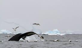 Humpback wieloryba Megaptera novaeangliae pokazują swój ogon z kelp frajerów Larus dominicanus kraść gdy ono nurkuje podczas karm zdjęcie stock