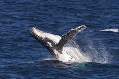 Humpback wieloryba naruszać obrazy stock