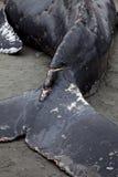 Humpback wieloryba obmycia na ląd i umierający obrazy stock