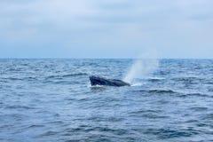 Humpback wieloryba oddychania powietrze zdjęcie royalty free