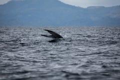 Humpback wieloryba ogon Obraz Royalty Free