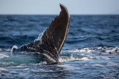 Humpback wieloryba ogon Zdjęcia Stock