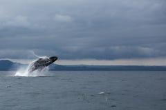 Humpback wieloryba ogon Zdjęcie Royalty Free