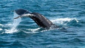 Humpback wieloryba ogon, Dalvik Iceland obraz royalty free