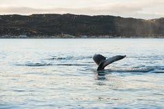 Humpback wieloryba ogon, Greenland fotografia stock