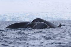 Humpback wieloryba ogon który nurkuje wewnątrz nawadnia Zdjęcia Royalty Free