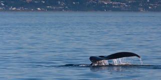 Humpback wieloryba ogon przed miasteczkiem przybrzeżnym Obraz Royalty Free