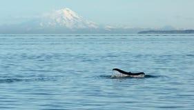 Humpback wieloryba ogon przed wulkanem Obrazy Stock