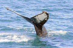 Humpback wieloryba ogon w Skjalfandi zatoce Zdjęcie Stock