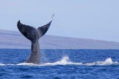 Humpback wieloryba ogon Wyłania się Prosto Up Od oceanu Zdjęcia Stock