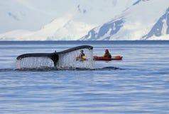 Humpback wieloryba ogon z kajakiem, statek, łódź, pokazuje na nurze, Antarktyczny półwysep zdjęcie royalty free