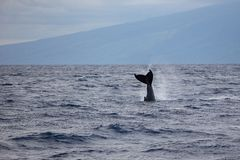 Humpback wieloryba ogonu żebra Megaptera novaeangliae z wybrzeża Maui, Hawaje obrazy stock