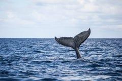 Humpback wieloryba ogonu żebro Obraz Royalty Free