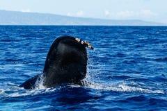 Humpback wieloryba ogonu fuks Zdjęcie Stock