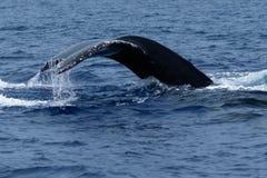 Humpback wieloryba ogonu fuks Obrazy Royalty Free