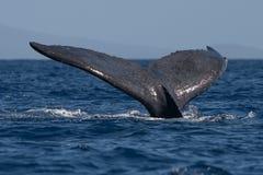 Humpback wieloryba ogonu fuks fotografia stock