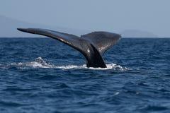 Humpback wieloryba ogonu fuks obrazy stock