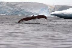 Humpback wieloryba ogonu fuks w Antarctica Obrazy Royalty Free