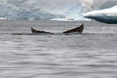 Humpback wieloryba ogonu fuks w Antarctica Obraz Royalty Free
