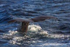 Humpback wieloryba ogonu fuksa andenes teren Norway Zdjęcie Royalty Free