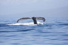 Humpback wieloryba ogonu fuksy Zdjęcie Royalty Free
