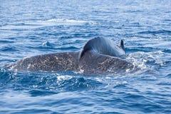 Humpback wieloryba ogonu nicestwienie W morze Obrazy Royalty Free