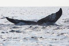 Humpback wieloryba ogonu nicestwienie W ocean Obrazy Royalty Free