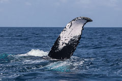 Humpback wieloryba ogonu nicestwienie W ocean Zdjęcie Stock
