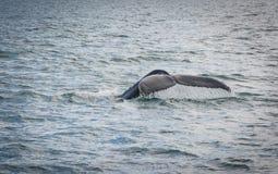 Humpback wieloryba ogonu pikowanie z fjord na tle obraz royalty free