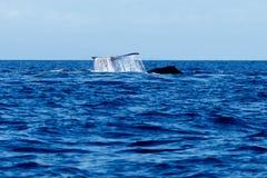 Humpback wieloryba ogonu Policzkować Fotografia Stock