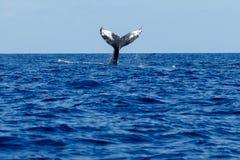 Humpback wieloryba ogonu Policzkować Zdjęcia Royalty Free