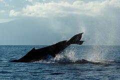 Humpback wieloryba ogonu Policzkować Obraz Stock