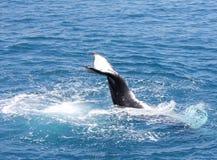Humpback wieloryba łopotanie jego ogonu Hervey zatoka 3 Fotografia Stock