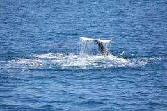 Humpback wieloryba łopotanie jego ogonu Hervey zatoka 3 Zdjęcie Stock