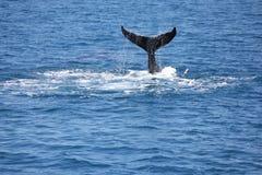 Humpback wieloryba łopotanie jego ogonu Hervey zatoka 2 Fotografia Stock