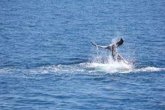 Humpback wieloryba łopotanie jego ogonu Hervey zatoka 1 Obraz Stock