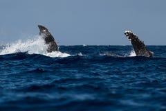 Humpback wieloryba piersiowy żebro blisko Lahaina w Hawaje zdjęcie royalty free