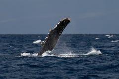 Humpback wieloryba Piersiowy żebro fotografia royalty free