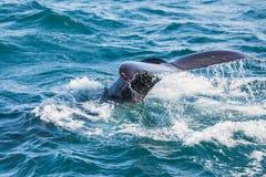 Humpback wieloryba pikowanie, ogon z morza obraz stock